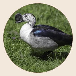 Canard à bosse