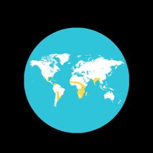 Dendrocygne fauve