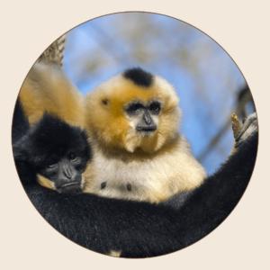 Gibbon à favoris roux