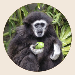 Gibbon à mains blanches