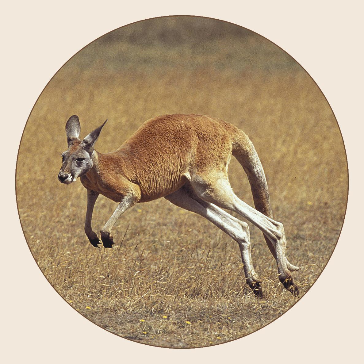 Kangouroux roux