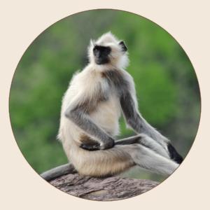 Langur de Hanuman