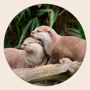 Loutre naine d'Asie