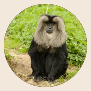 Macaque ouandérou