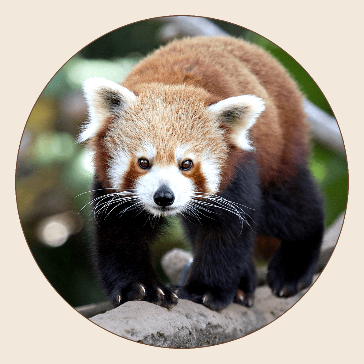 Panda roux de l'Himalaya