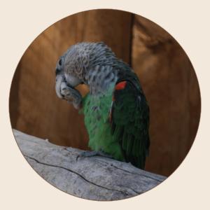 Perroquet à cou brun
