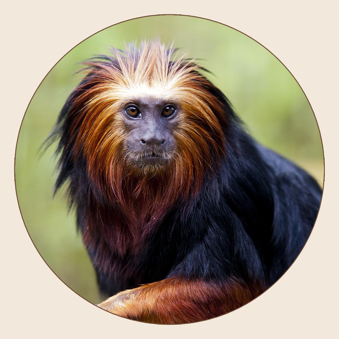 Tamarin-lion à tête dorée