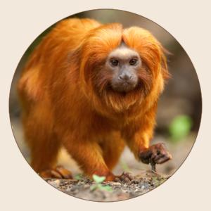 Tamarin-lion doré