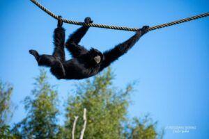 Siamang au zoo du Bassin d'Arcachon