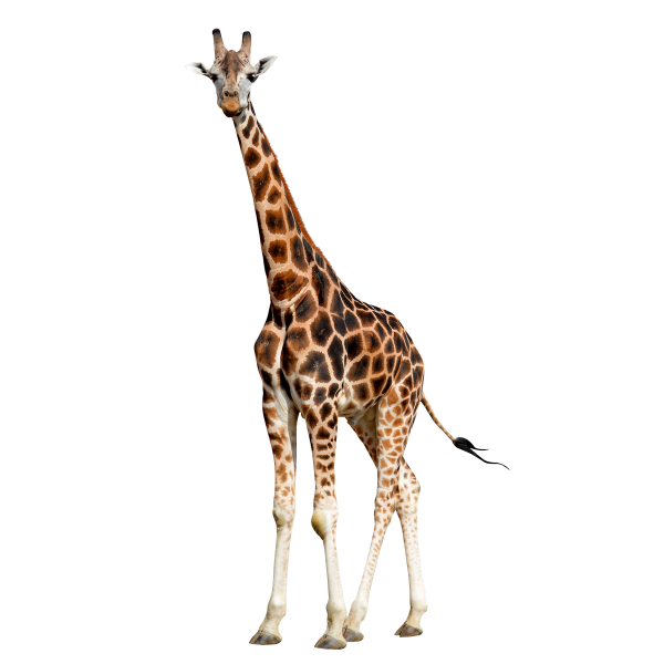 Girafe-GettyImages-463185749